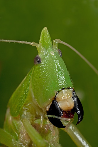 Katydid - Wed/Thu face