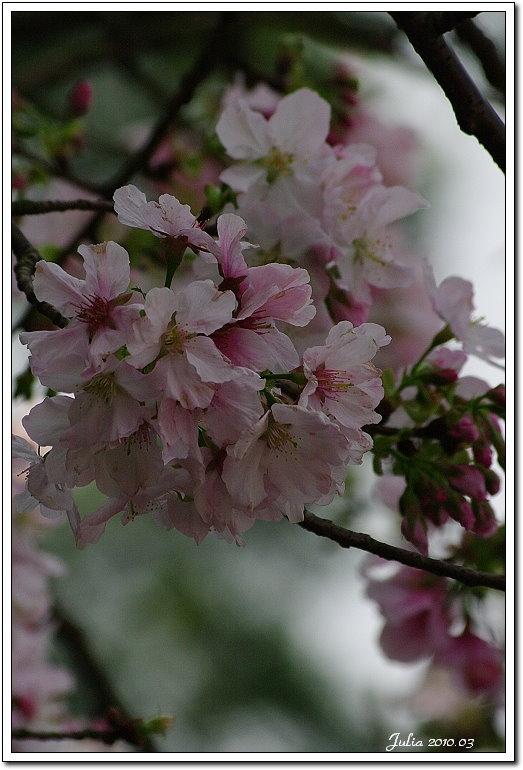 天元宮,櫻花 (14)
