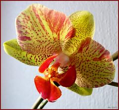 Orchidee (flixx-ak) Tags: plant orchid nature germany deutschland flora hessen natur pflanzen phalaenopsis orchidee supershot mywinners flixxak offenbachammain diamondclassphotographer flickrdiamond amazingorchids specialshotswelltaken floralfantasia12winnersannounced