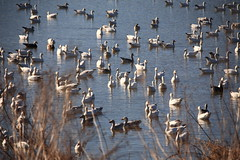 Snow Geese (willdupuis) Tags: middlecreek snowgeese