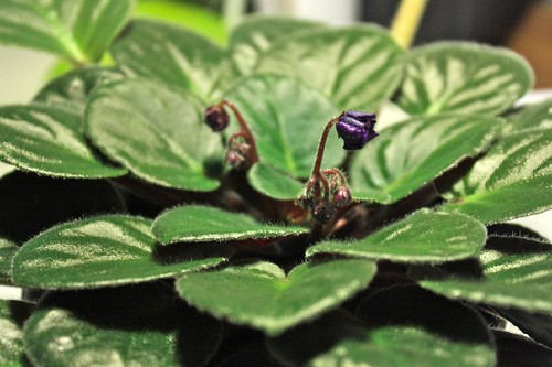 New African Violet Flowers