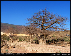 Baobab Trees in Wadi Hinna, Dhofar (Shanfari.net) Tags: trees tree nature lumix raw natural african middleeast panasonic malvaceae henna hina oman wadi fz mideast hena baobab zufar digitata rw2 salalah hinna   sultanate dhofar    khareef   mirbat adansonia    adansoniadigitata       governate  dofar fz38 marbat  fz35 dmcfz35