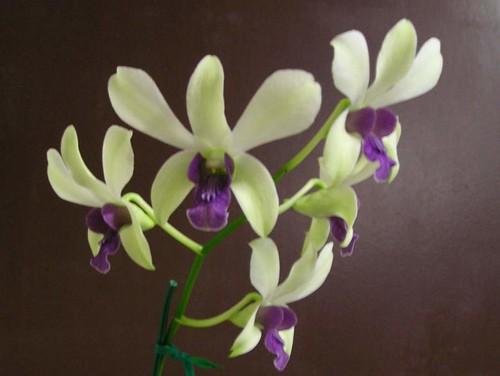 Dendrobium Woo Leng 'Blue Lip'