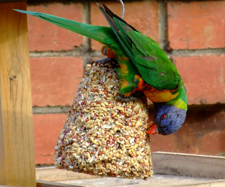 hungry lorikeet 01