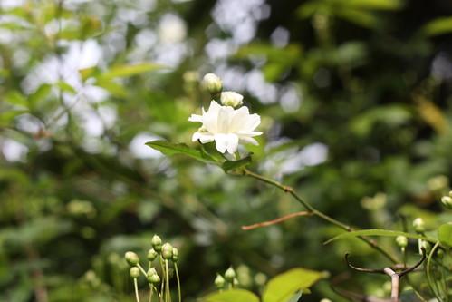 white tea roses