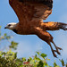 Black-collared Hawk - Click thumbnail for image options