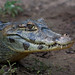 Caiman Closeup - Click thumbnail for image options