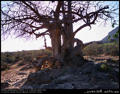 A Baobab in Wadi Hinna, Dhofar (Shanfari.net) Tags: trees summer tree nature lumix raw natural panasonic malvaceae oman wadi fz mountian zufar digitata rw2 salalah hinna الصيف sultanate dhofar عمان khareef طبيعة جبل جبال وادي mirbat adansonia سلطنة خريف صلالة adansoniadigitata صلاله حنه ظفار الخريف محافظة موسم governate حنة dofar fz38 marbat مرباط fz35 dmcfz35 القيظ qaith