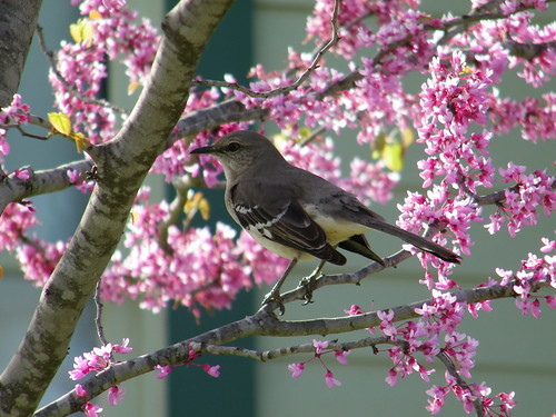 Mockingbird in Redbud