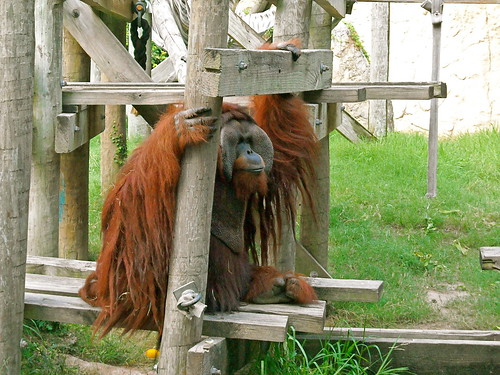 Houston Zoo Orangutan
