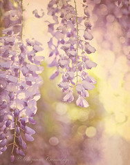 Spring Fever (SLEEC Photos/Suzanne) Tags: flowers plant tree texture nature action bokeh vine wisteria coffeeshopaction florabellatexture selectbestexcellence sbfmasterpiece vintageblush