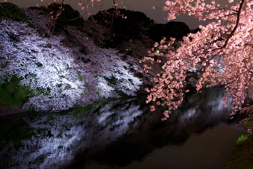 Cherry Blossom Lightup