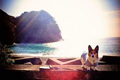here comes the April sun (moaan) Tags: ocean sea dog sun sunlight sunshine digital corgi shine cove pacificocean utata flare tokushima welshcorgi 2010 morningsun glisten  21mm hiwasa glittering  superangulon f34 pochiko leicasuperangulon21mmf34  gettyimagesjapanq1 gettyimagesjapanq2