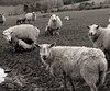sheeps (tartalom) Tags: ireland sheep brandon lamb springlamb mtbrandon cokilkenny graiguenamanagh tartalom christophersweeney