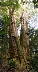 The Tree of Souls (Tatters:)) Tags: tree forest wow giant big rainforest stitch australia qld huge trunk tall majestic lamingtonnationalpark myrtaceae axie brushbox arfp lophostemonconfertus lophostemon australianrainforestplants tristaniaconferta nswrfp qrfp