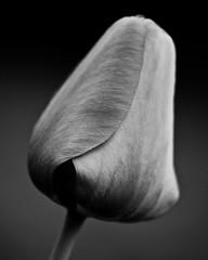 folding (Will Montague) Tags: blackandwhite bw flower macro monochrome closeup spring stem nikon petal tulip bloom fold folding montague d90 willmontague nikond90bw
