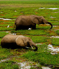 Elephant and Son II (@PAkDocK / www.pakdock.com) Tags: africa park travel wild bw lake storm elephant water rain animal animals rio swimming swim walking landscape tanzania photography lluvia dock agua slow natural skin flood kenya path inundacion border reserve dry son fave explore step drought paso remote feed dust heavy kenia elefante pak amboseli cria tusker elefantes wildness pakdock