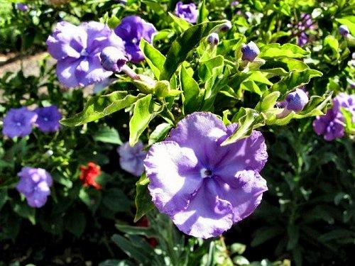 20100408-rq-jardimmunicipal-04-Brunfelsia pauciflora