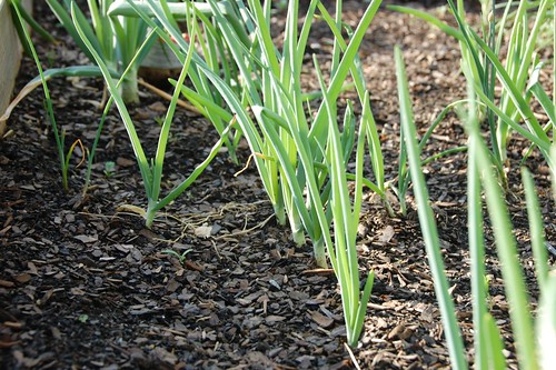 pretty little onions all in a row