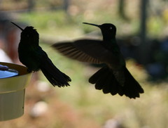 "02 09_ CR_ Two Humingbirds silhouetted • <a style=""font-size:0.8em;"" href=""http://www.flickr.com/photos/30765416@N06/4520860670/"" target=""_blank"">View on Flickr</a>"