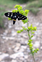 Sono una farfalla nera ! (Ayoli2009) Tags: primavera farfalla flickrsfriends canong9 yourcountry