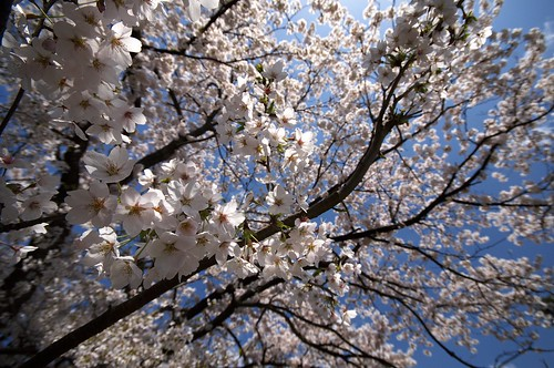 201004178855桜_R