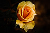 YELLOW ROSE (PHOTOGRAPHY|bydamanti) Tags: fantasticflower