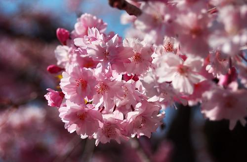 sakura (again)