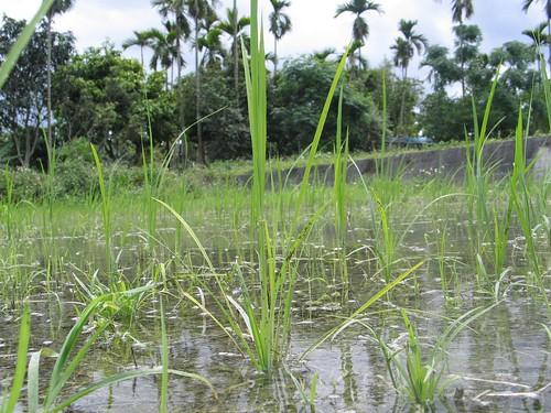 鳳林種稻記2010 川口由一稻田 開始分蘗