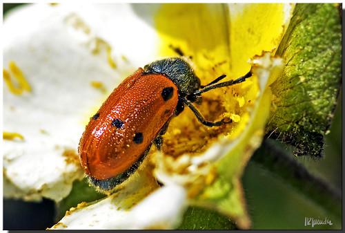 Escarabajo de 6 puntos (Lachnaia tristigma)