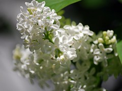 Fragrant Beauty (doubledcop) Tags: flowers white green nature garden flora blossoms blooms lilacs whitelilacs