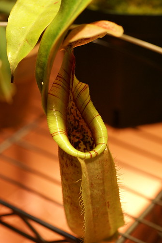 Nepenthes veitchii x rafflesiana