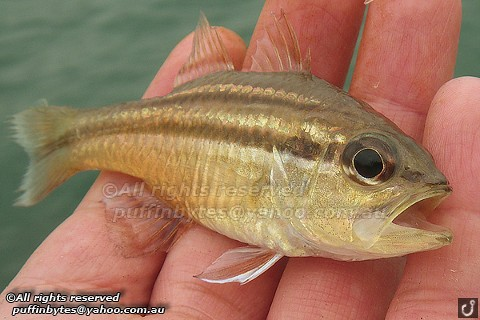Broad-banded Cardinalfish - Apogon fasciatus