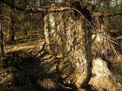 Stump landscape. (ludowski) Tags: las trees vertical forest stock arbres stump birch fort bouleau bole dzewo ludowski
