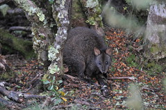 Wallaby - Cradle Mountain Photo