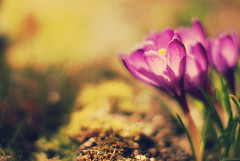 (e.kristina) Tags: flowers sunlight nature spring purple bokeh gls crcus