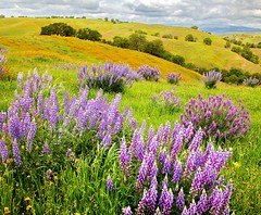 Lavish Lupine (DM Weber) Tags: california slocounty lupine coth fiddlenecks capturethefinest psa148 coth5 dmweber