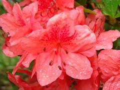 Azalea with raindrops, SOOC (Martin LaBar) Tags: pink flowers red flower macro beautiful rain petals southcarolina style raindrops ericaceae azalea lovely stigma filament oconeecounty anther bello primerplano gotadelluvia diamondclassphotographer flickrdiamond exceptionalflowers