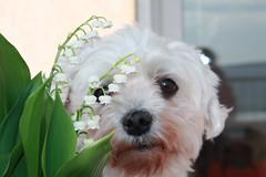 PEPSI (Loupsi ghislaine) Tags: dog chien bichon frise maltais