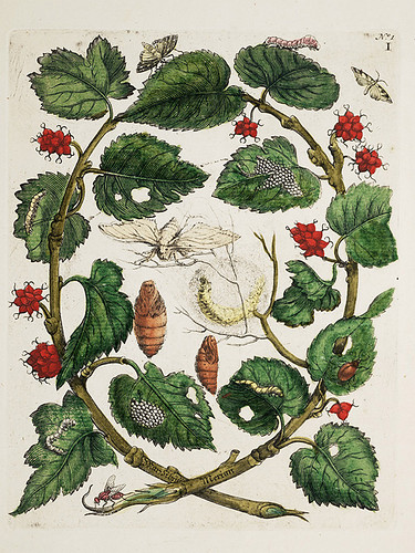 Botanical Illustration by Maria Sibylla Merian