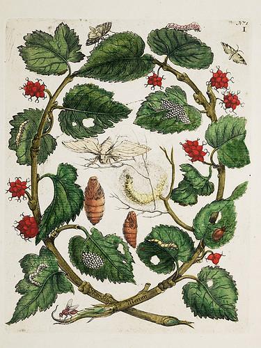 Botanical Illustration by Maria Sibylla Merian