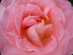 heart throb rose