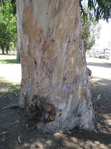 spiraling euc trunk