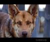 Una foto mas y te largas (vanbreack) Tags: dog animal dof bokeh retrato perro ojos mirada cruzadasgold