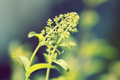 (rosalee mcgilvery) Tags: flower macro green nature yellow canon focus soft dof xsi 100mm28