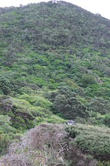 kereru and mountain