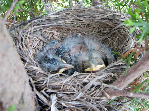 American Robin babies
