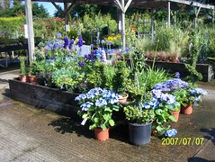Cool blue flowers (wallygrom) Tags: england westsussex gardencentre gardencenter angmering july2007 manornursery