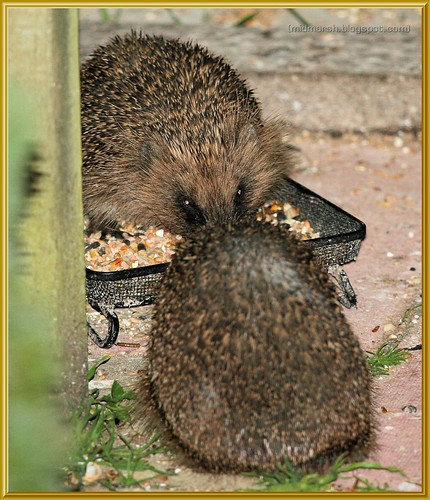 2 Juvenile Hedgehogs