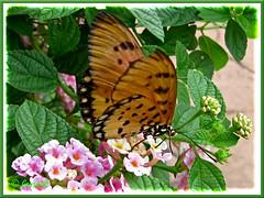 Tawny-coloured Acraea terpsicore or A. violae